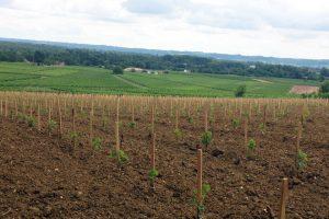 Jeunes pieds de vigne vignoble Lescaneaut
